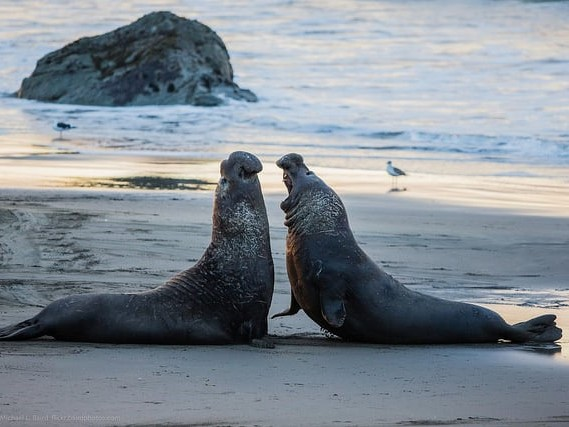VISIT THE SAN SIMEON ELEPHANT SEALS
